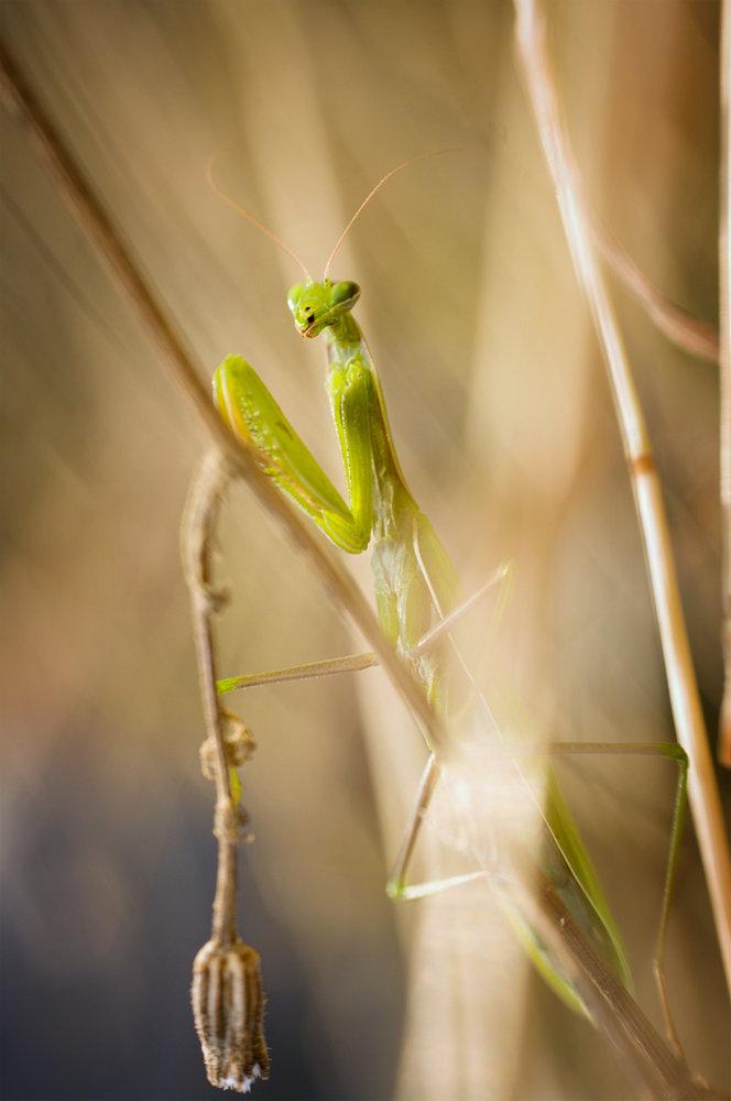 Mantis religiousa