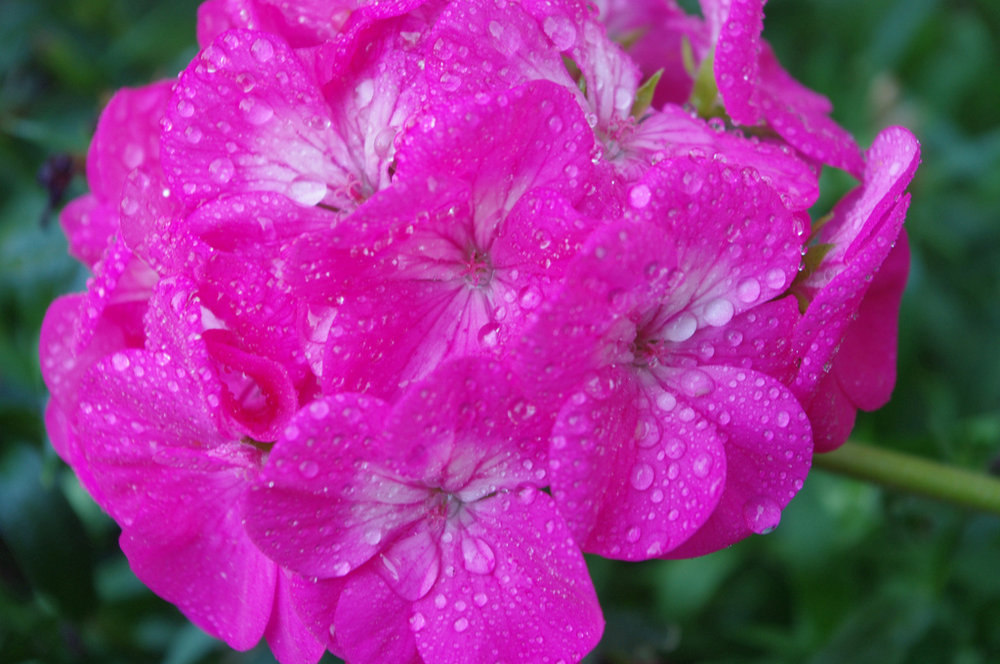 Pink Geranium after the rain.