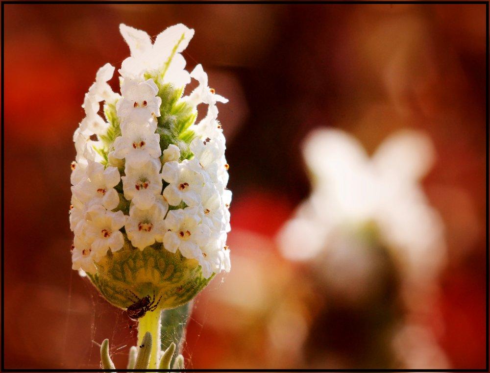 White Lavender, Red Light