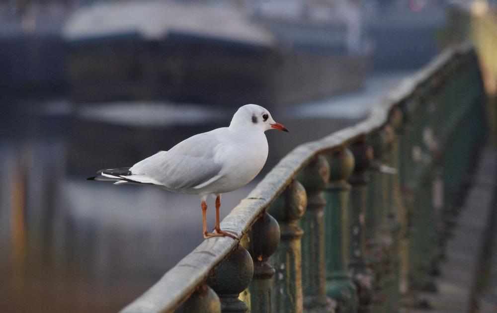 gull (1)