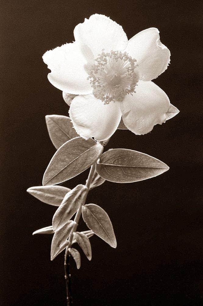 AGFA Flower
