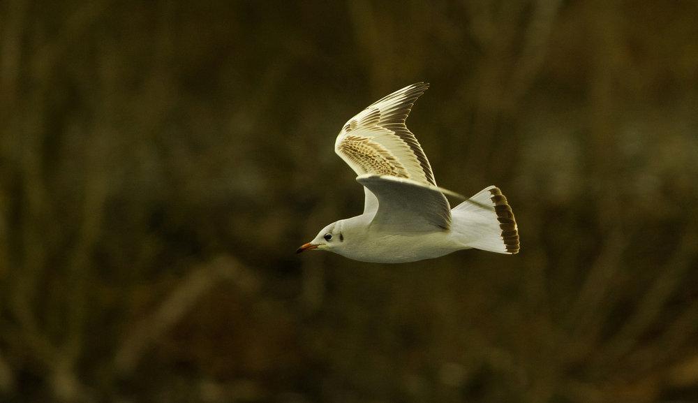 gull (3)