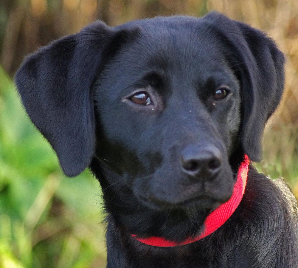 Portrait of a labrador