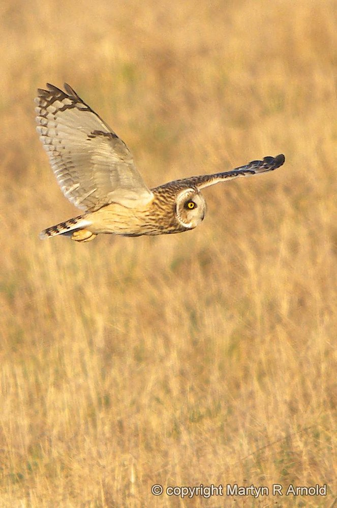 Short Eared Owl crop