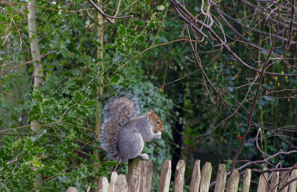 Squirrel Nutkins.