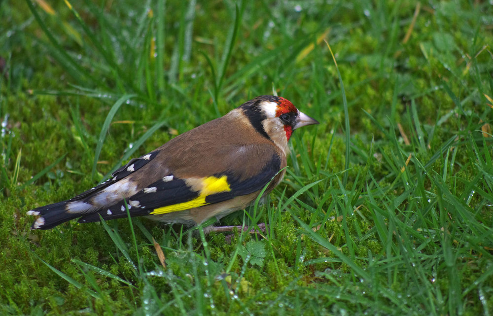 Stunned goldfinch