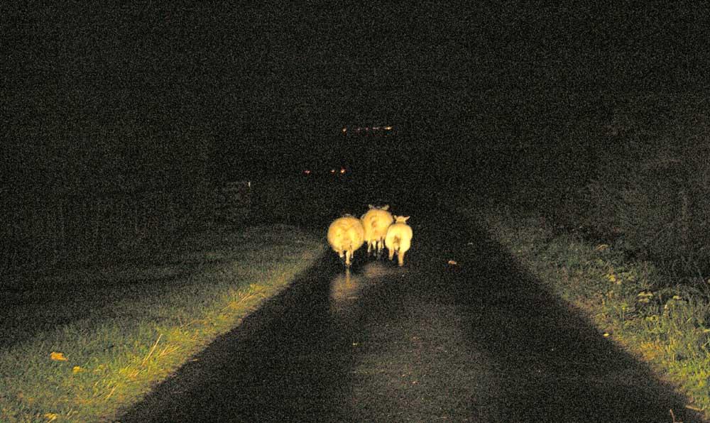 Three Sheep in the Headlights