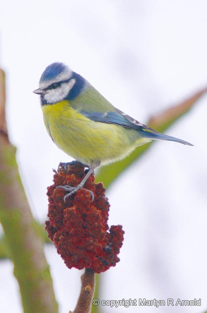 Blue Tit (crop)