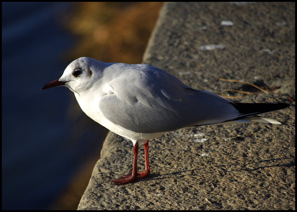 Gull of the Po