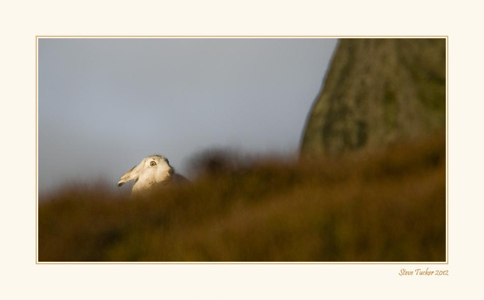 Mountain Hare in Winter Coat