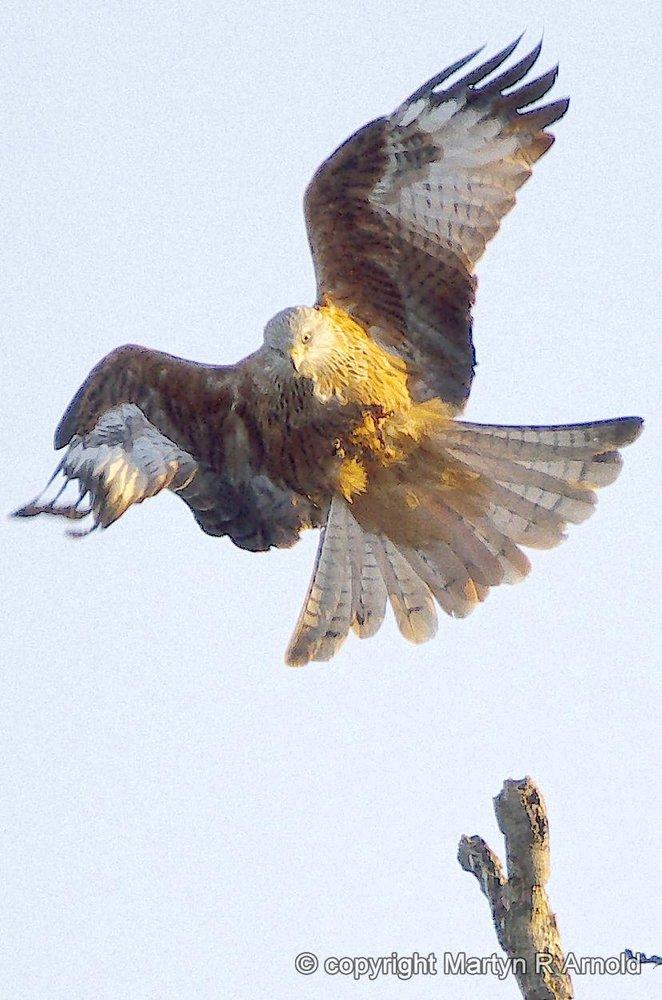 Red Kite Take-off!