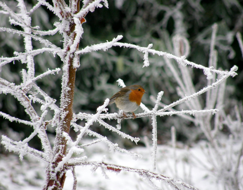Robin Redbreast bright against the snow