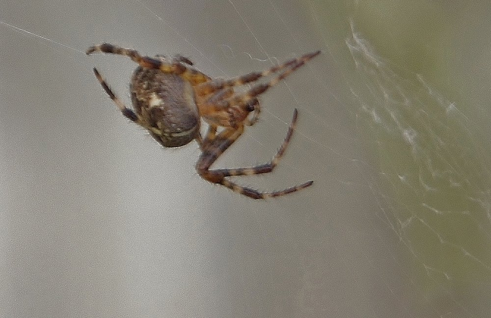 """""""Spider in my garden"""""""