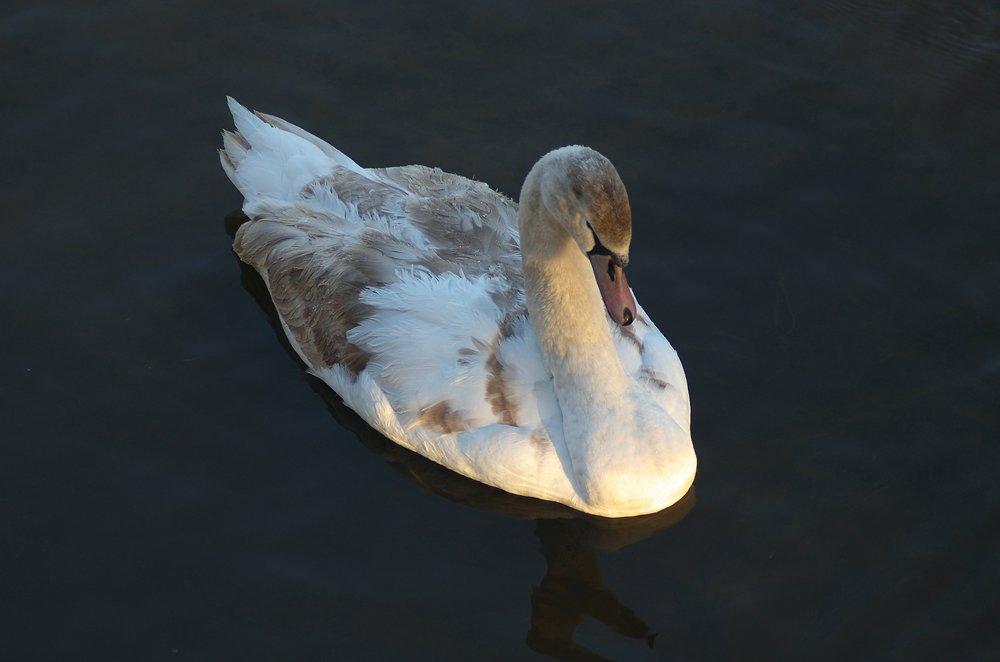 Sunlit Swan
