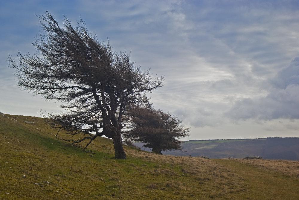 Wind swept trees