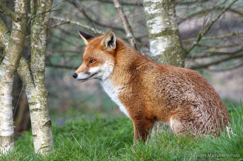 Captive Fox - K5 + DA*300mm