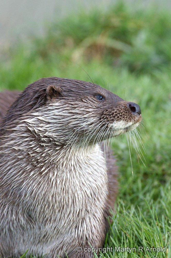 Captive Otter - DA*300mm