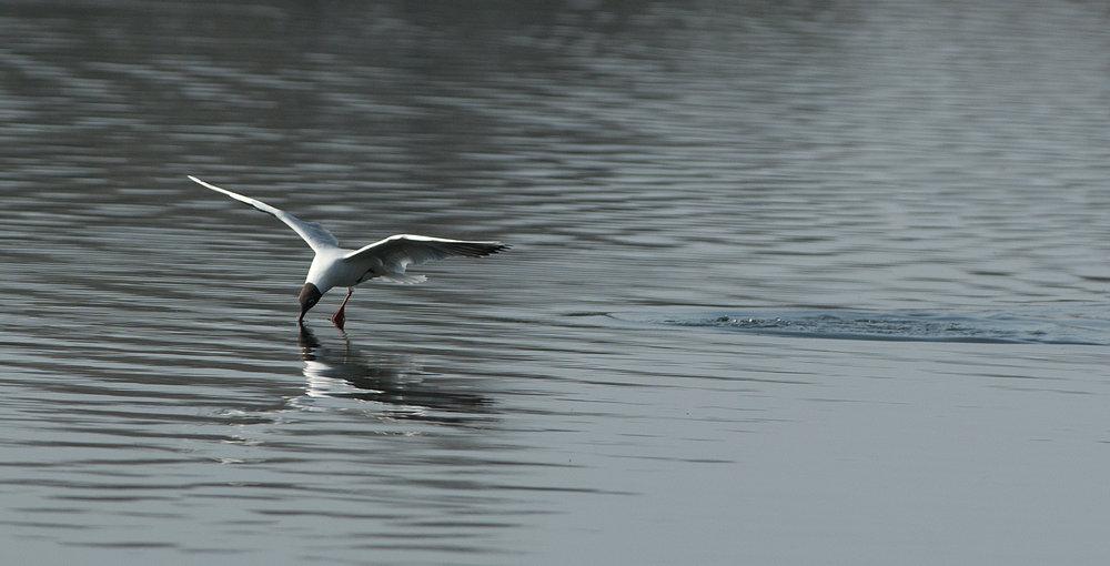 gull (5)