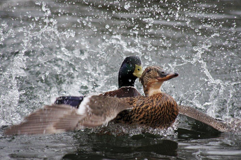 Mating Ducks