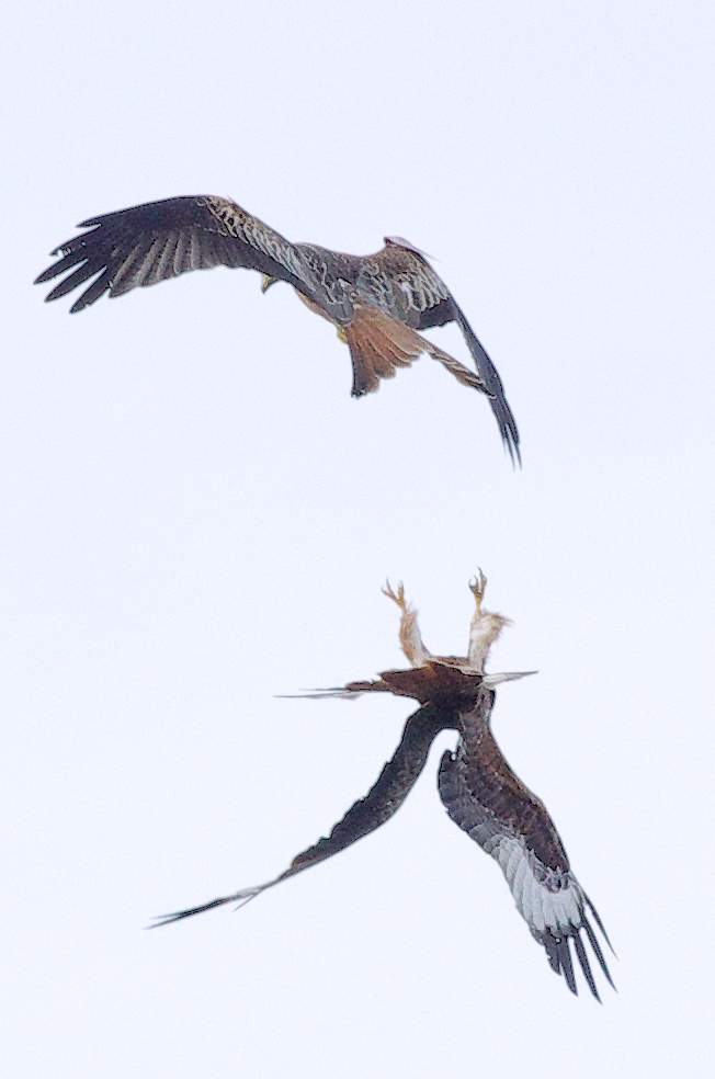 Red Kite Foreplay!