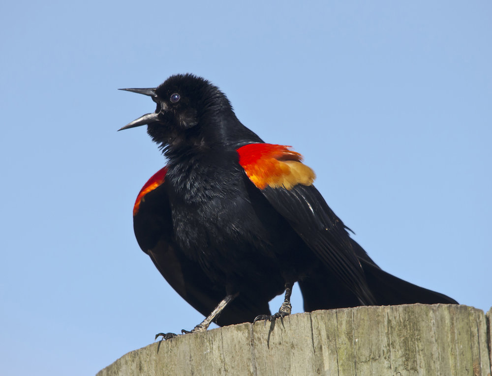 Red-winged Blackbird Posturing