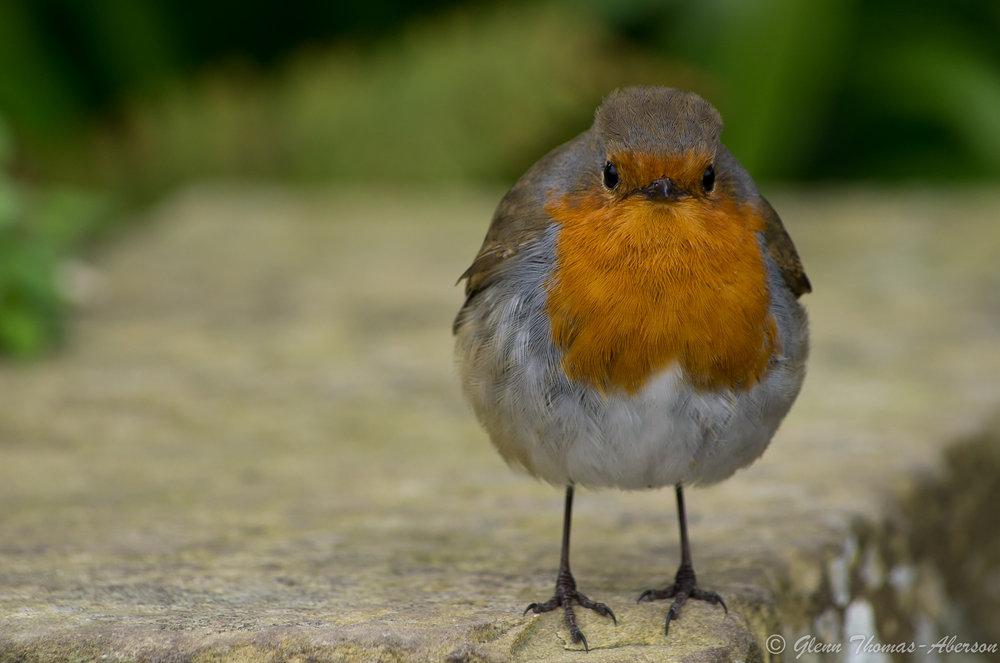 Robert the robin