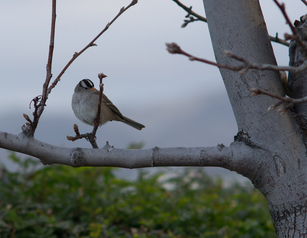 White-crested Sparrow