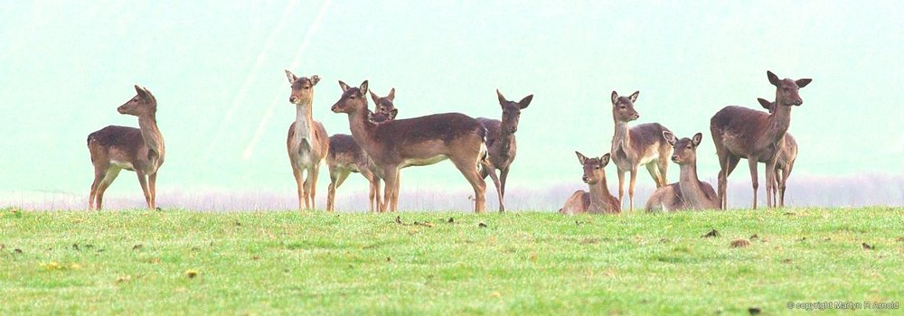 Wild Fallow Deer