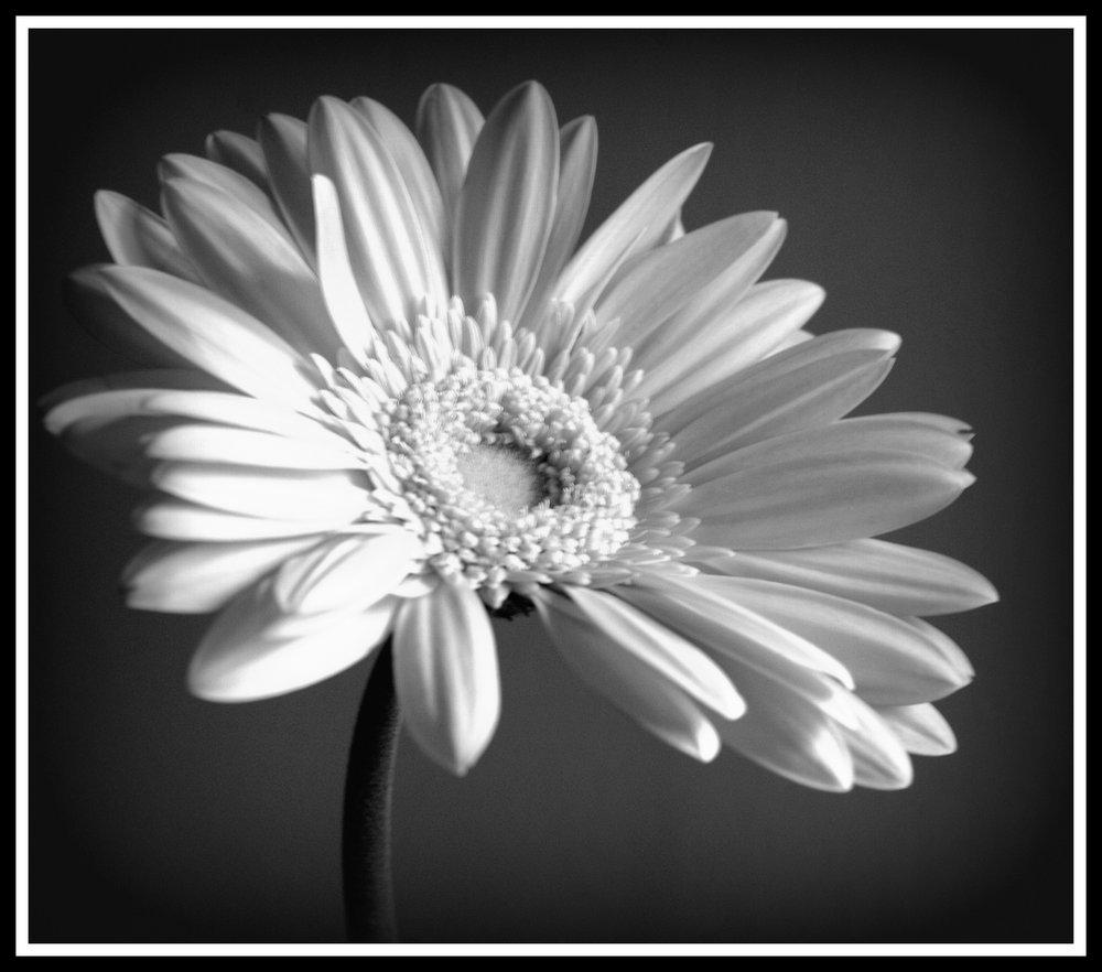 Gerbera, black and white
