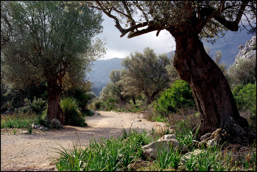 Path Through an Olive Grove