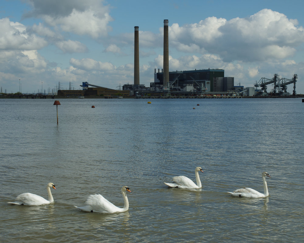 Salt Water Swans