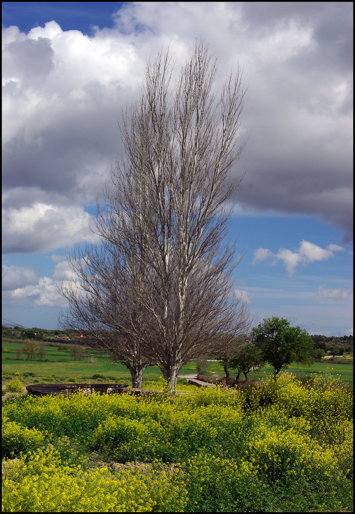 Two Trees of the Central Plain