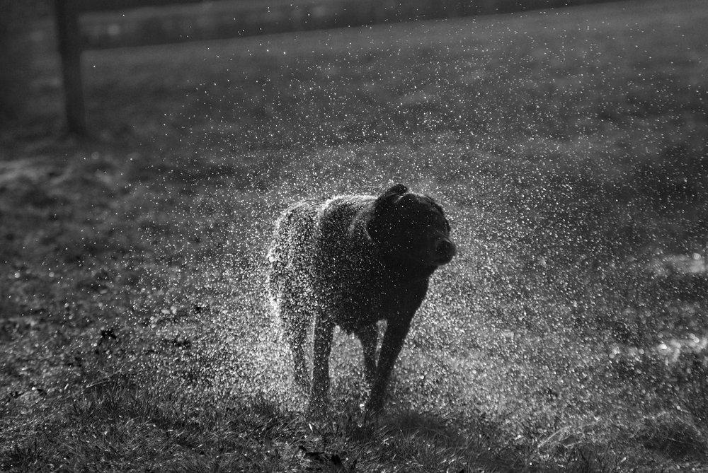 labrador shaking water