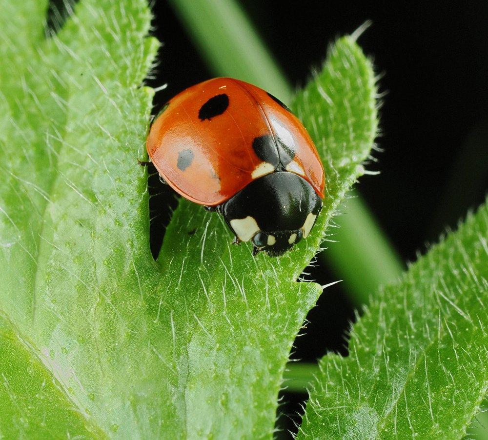 Ladybird & Poppy Leaf