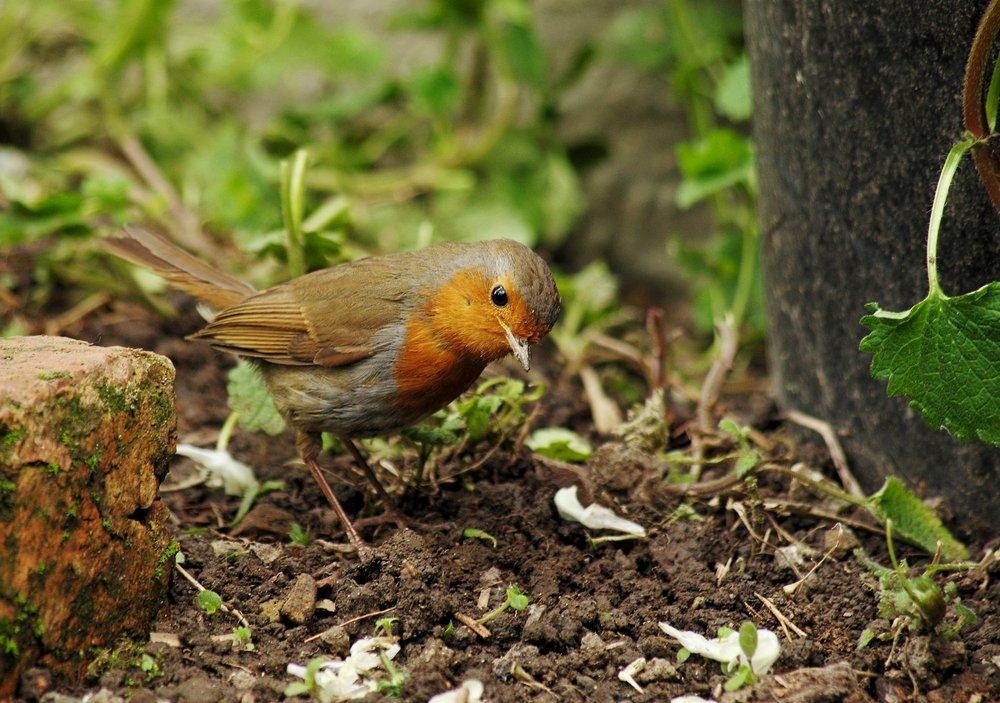 Robin - listening for grubs