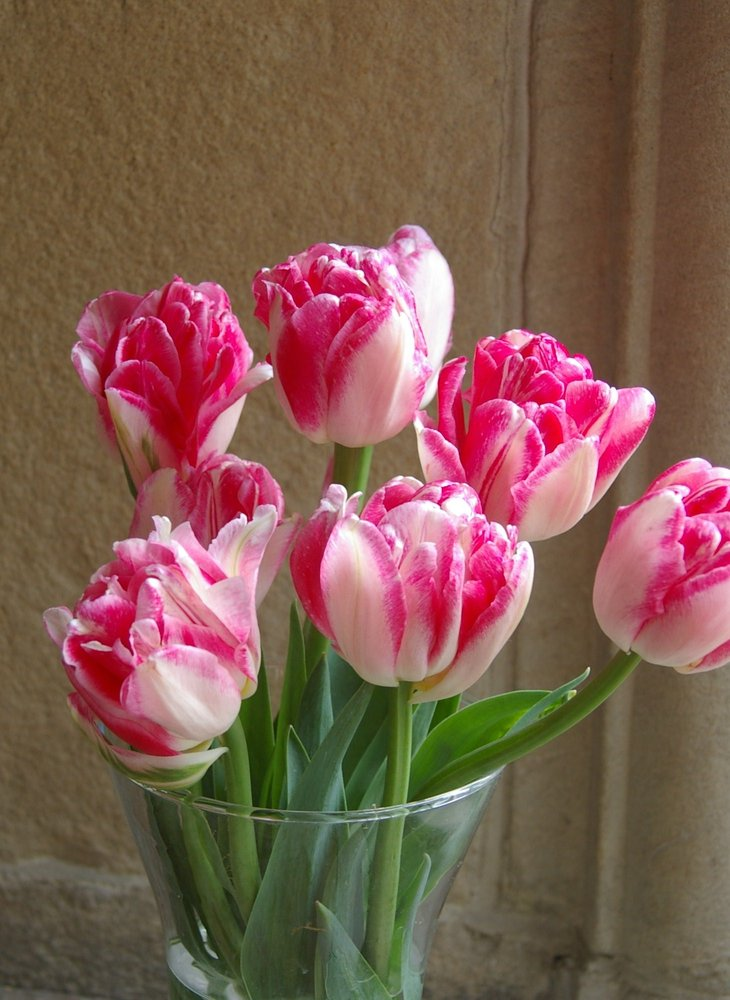Tulips, My Favourites!!