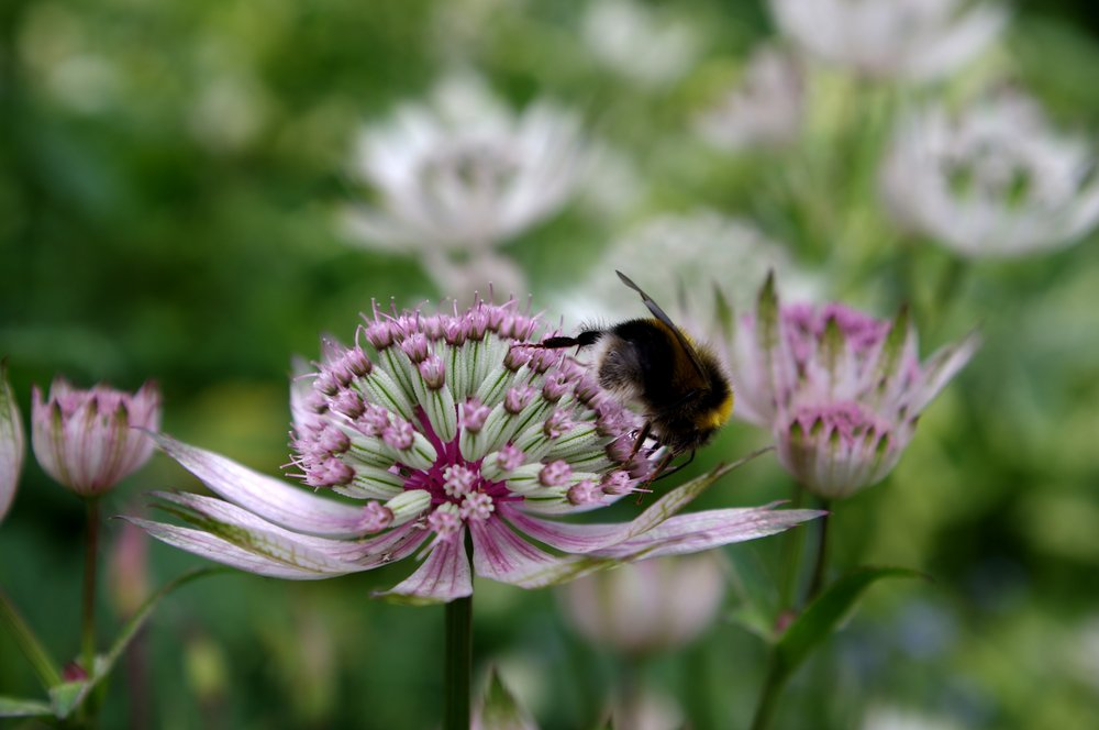Bee in Scabious