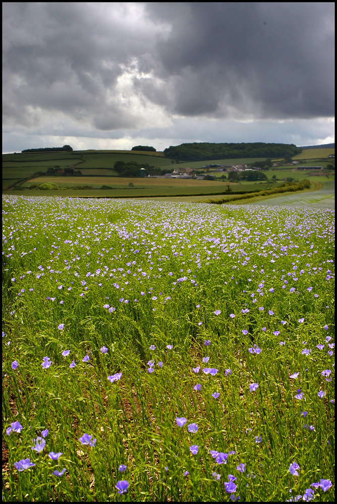 Flax Field with Summer Skies