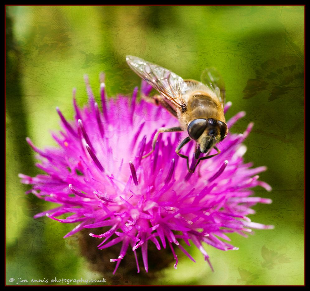 Bee and meadow thistle