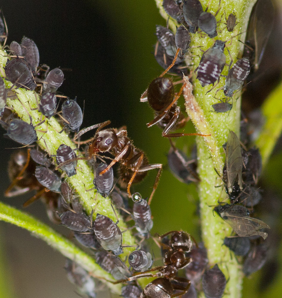 Dairy farming - ant style.