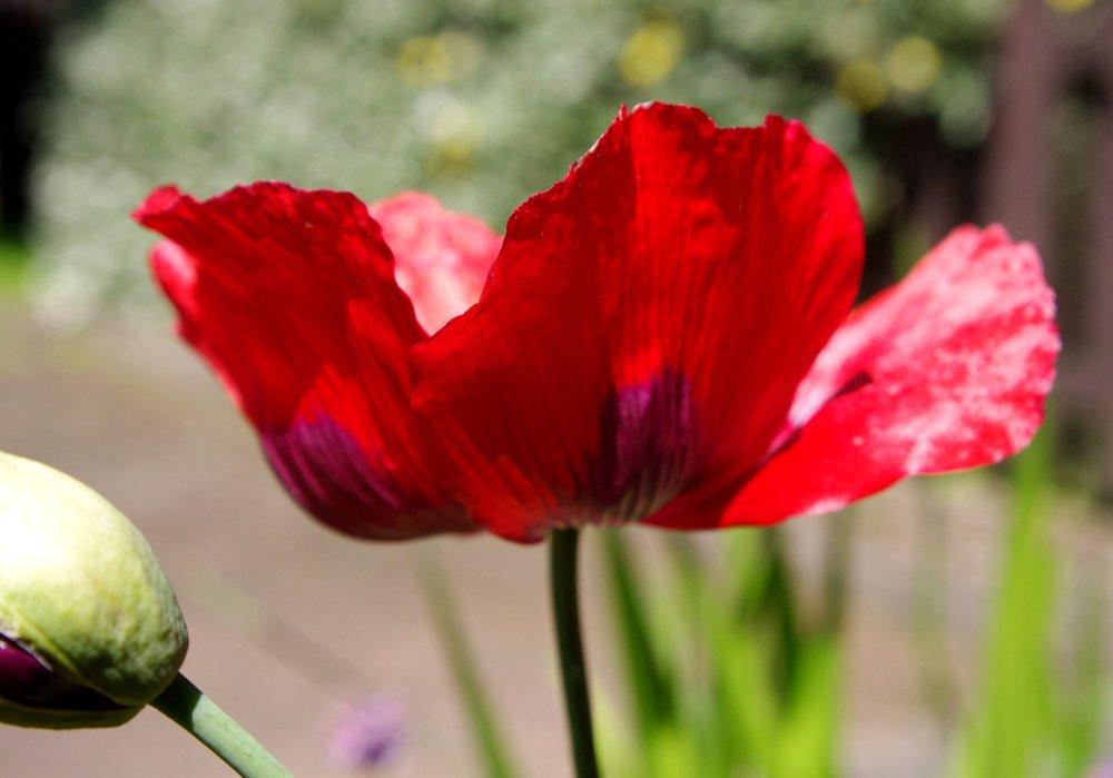 Poppy for my rain bedraggled garden