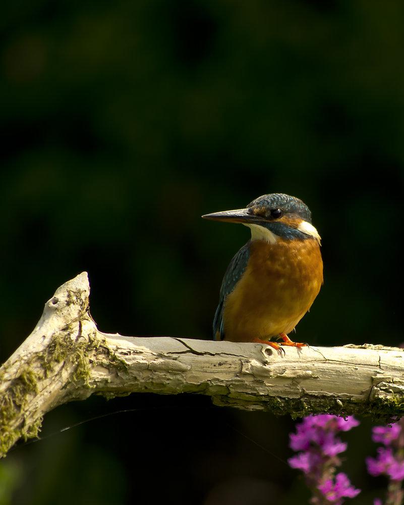 Kingfisher 3