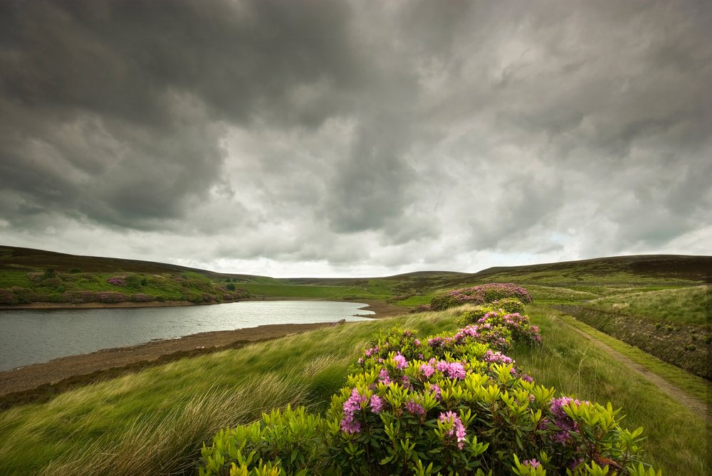 Rhododendrons on the moors