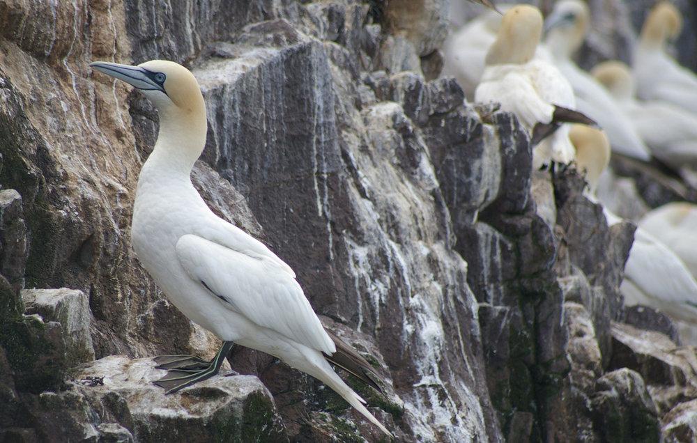 Gannet on Bass Rock