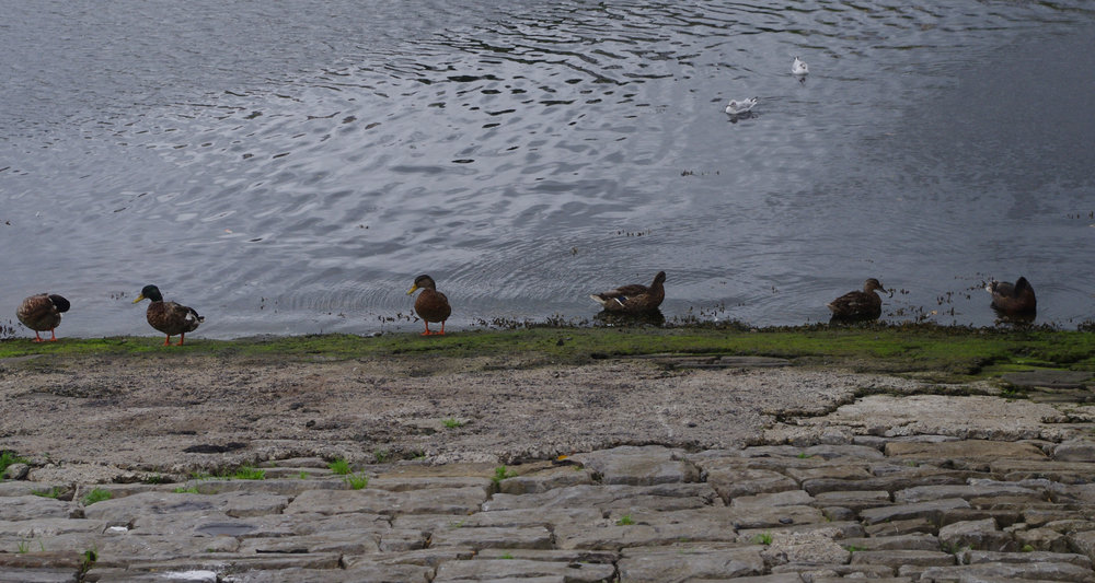 Row of ducks