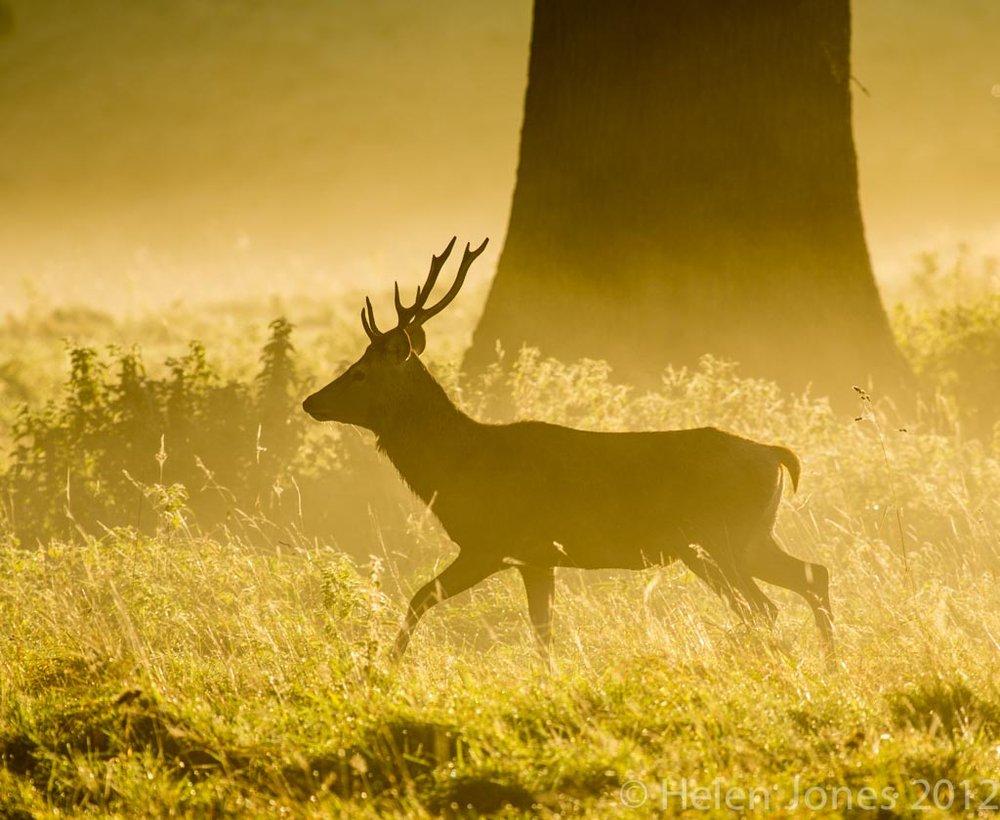 Red deer in autumn dawn mist