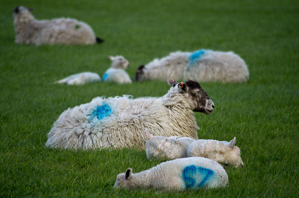 Woolly rests..