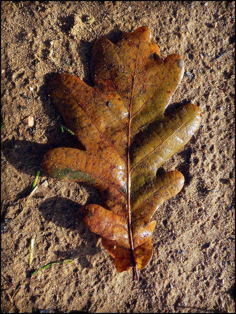 Single Wet Oak-Leaf