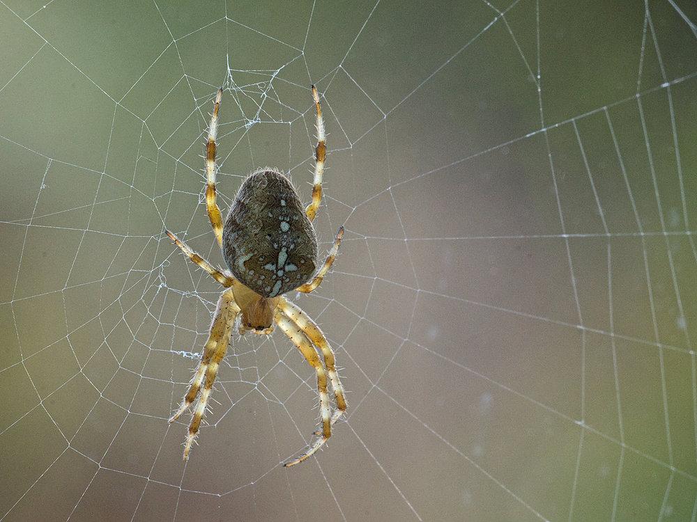 Garden Cross Spider (Araneus diadematus) on web