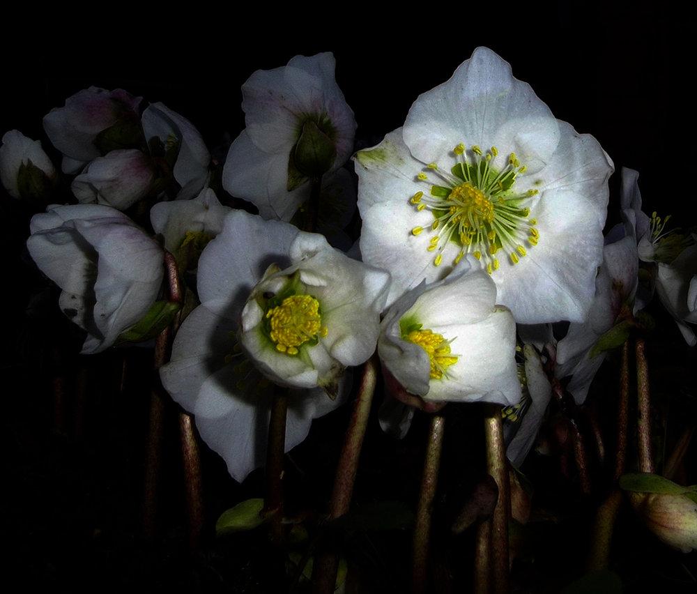 Hellebore - Christmas Rose